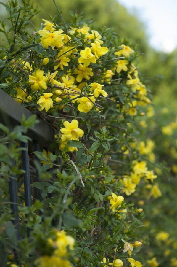 Mesnyi del Jasminum (gelsomino di primaverina) in fioritura fotografie stock