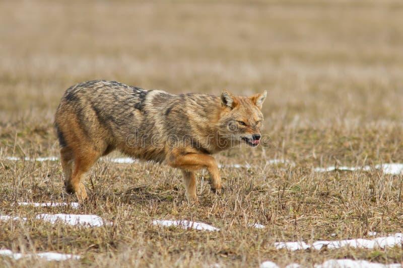 Mesomelas волка стоковое фото