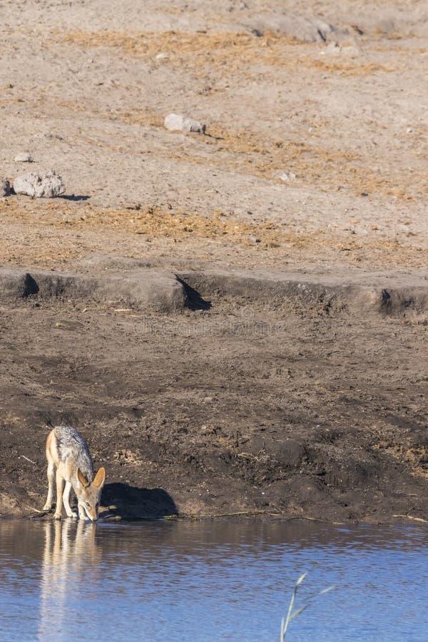 Mesomelas com o dorso negro do Canis do chacal que bebem em um waterhole, parque nacional de Etosha, Namíbia foto de stock royalty free
