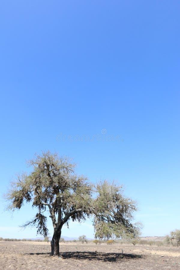 Mesquite bara i öknen fotografering för bildbyråer