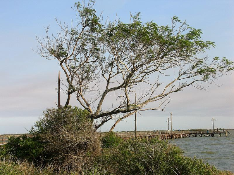 Mesquite on the bay stock photography
