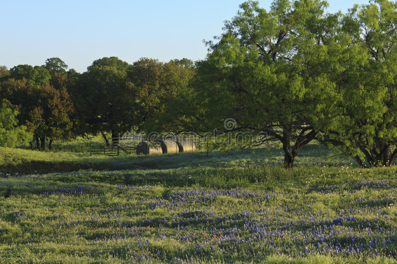 Mesquites with Wildflowers. And rolls of hay in a field in the early morning stock photography