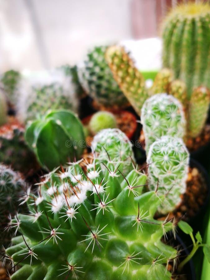 Messa a fuoco selettiva sul cactus con molti generi di fondo del cactus immagine stock libera da diritti