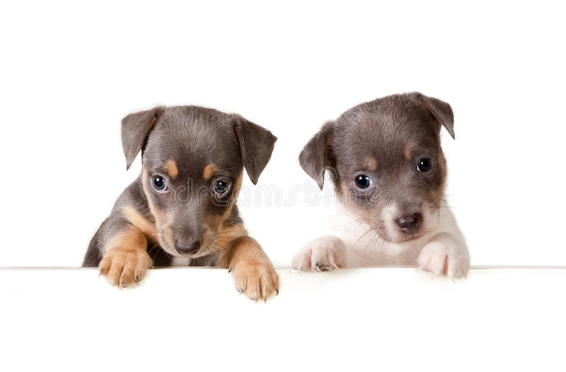 Message from the dogs. Isolated 6 weeks old jack russel puppy dogs with a white message