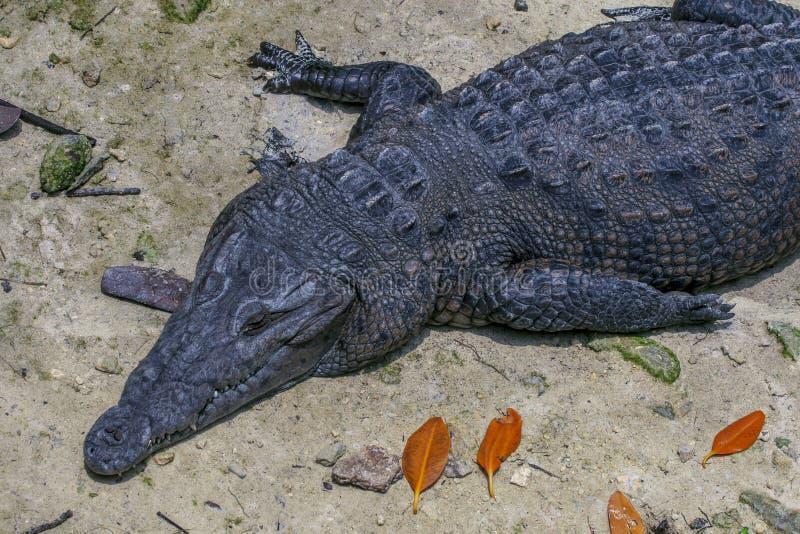 Messicano del coccodrillo fotografie stock