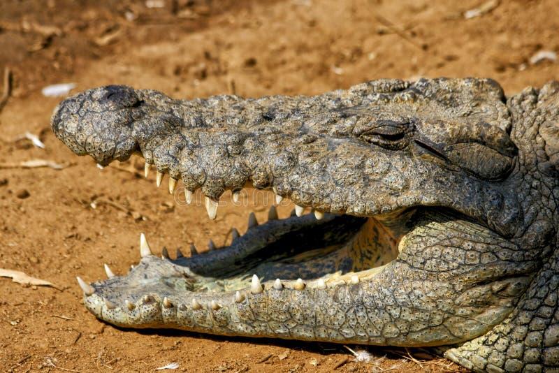 Messicano del coccodrillo fotografia stock libera da diritti