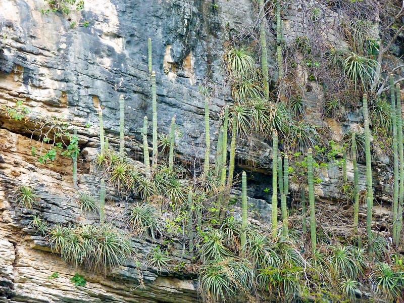 Messico Chiapas, tabasco, Tuxtla Gutiérrez, Kanjon del Sumidero, kaktus på kanjonväggarna arkivbild