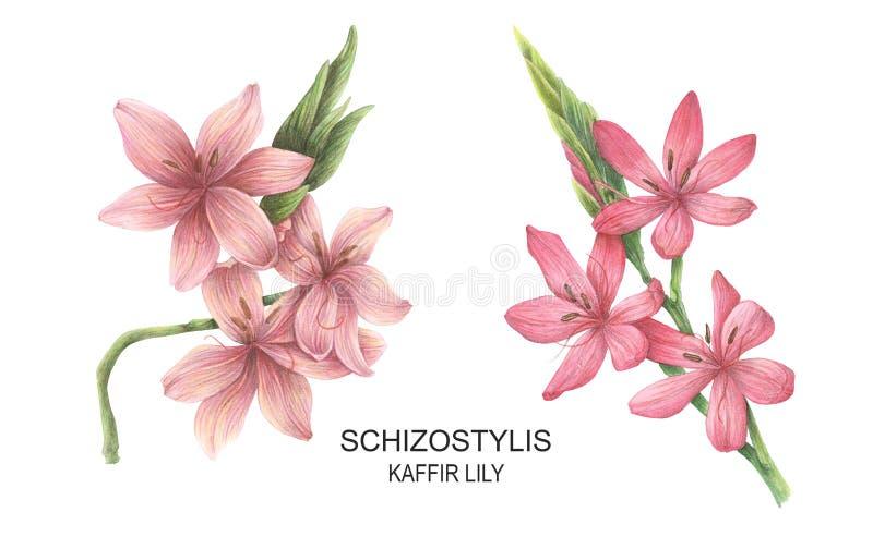 Messo con le illustrazioni dell'acquerello di Schizostylis illustrazione di stock