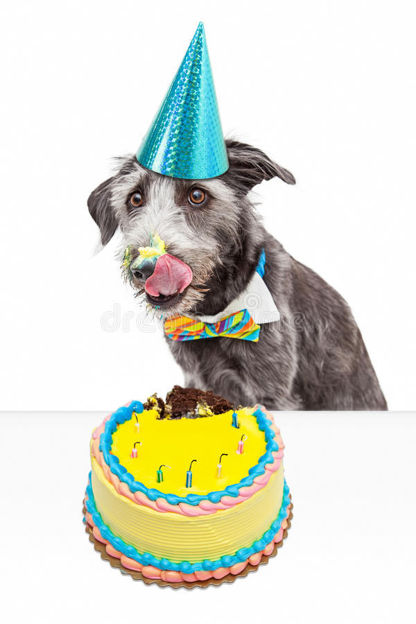 Messy Birthday Dog Eating Cake. Funny photo of a messy dog eating birthday cake and licking frosting off of his face royalty free stock photography