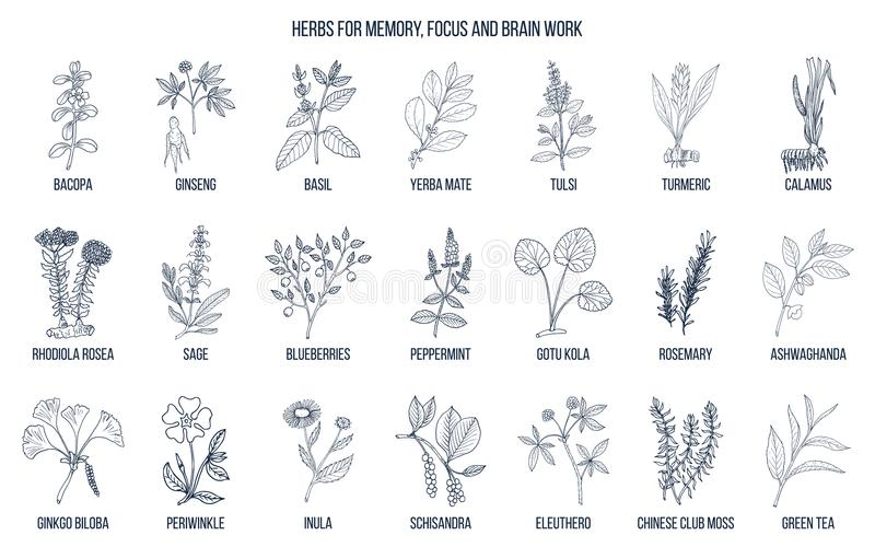 Mest bra medicinska örter för minne, fokus och hjärnarbete vektor illustrationer