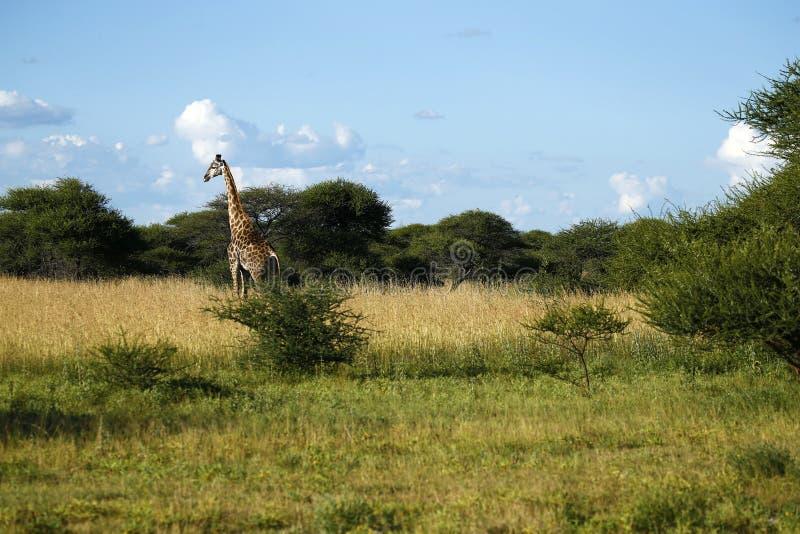 Mest högväxt däggdjur för världar; giraffet royaltyfria foton