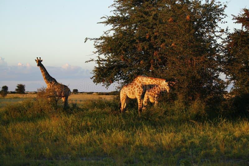 Mest högväxt däggdjur för världar; giraffet arkivbilder