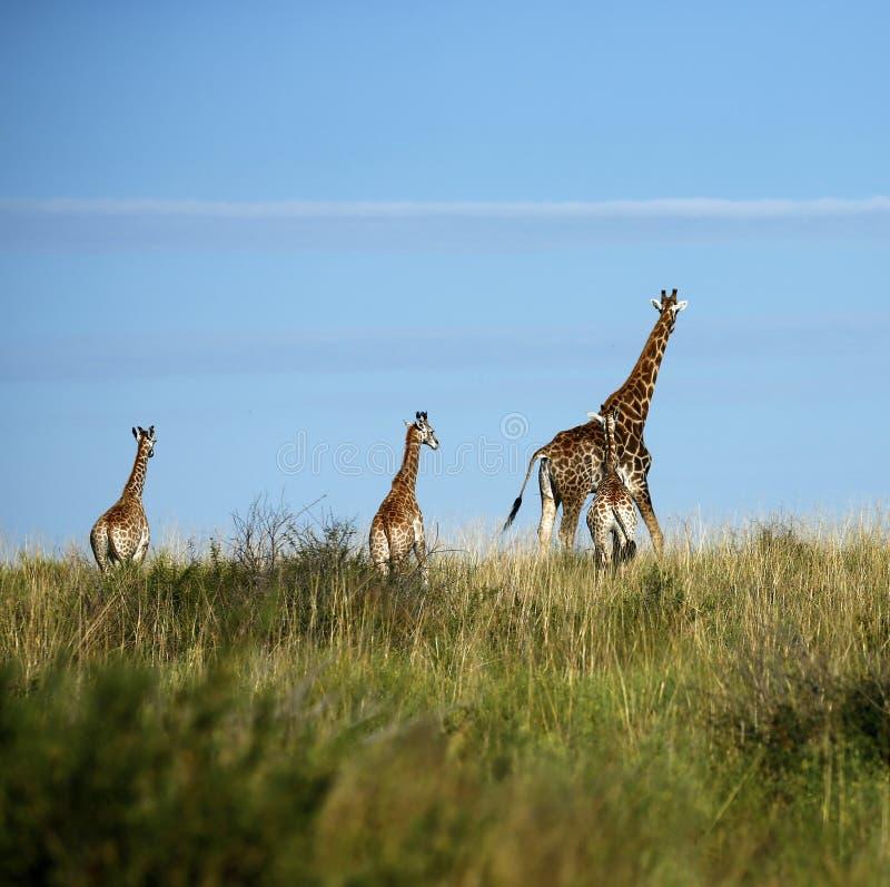 Mest högväxt däggdjur för världar; giraffet royaltyfri bild