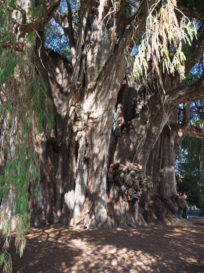Mest stoutest stam av världen av att upphetsa det Montezuma cypressträdet på den Santa Maria del Tule staden i Mexico - lodlinje arkivbilder