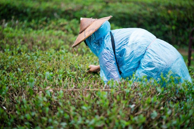 Mest trädgårdsmästare samlar teblad royaltyfri bild