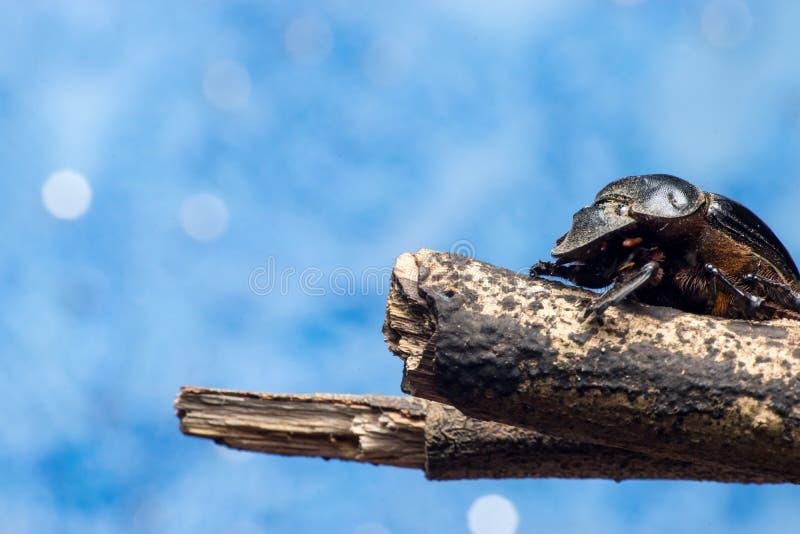 Mestkevers stock afbeeldingen