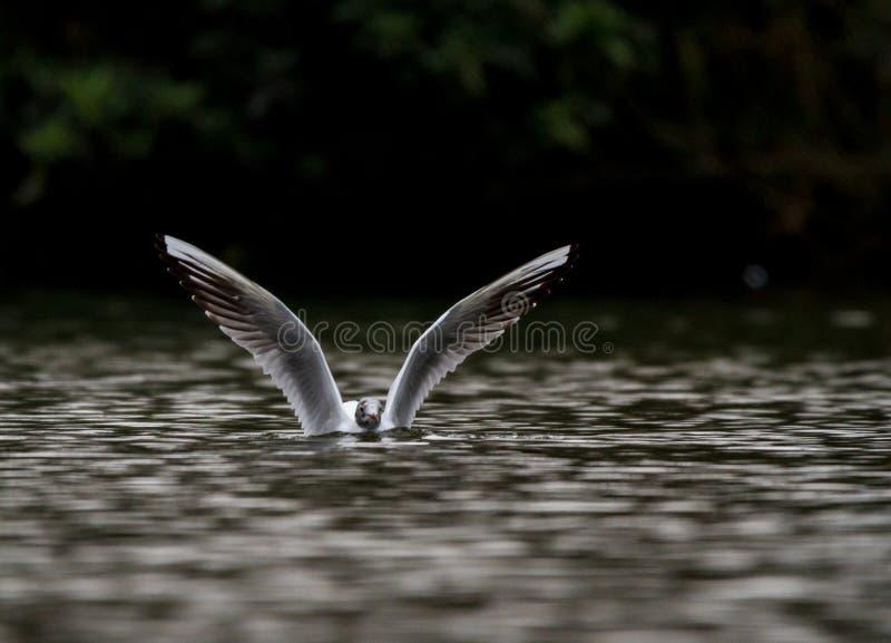Metà del gabbiano sommersa in acqua fotografie stock
