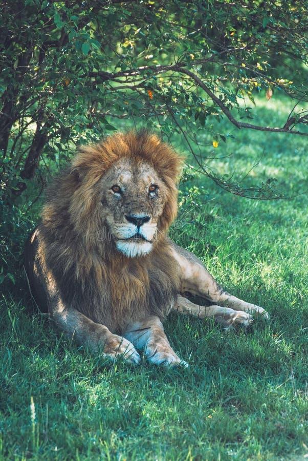 Metà di primo piano verticale sparato di bello leone selvaggio che mette sull'erba in una foresta fotografie stock libere da diritti