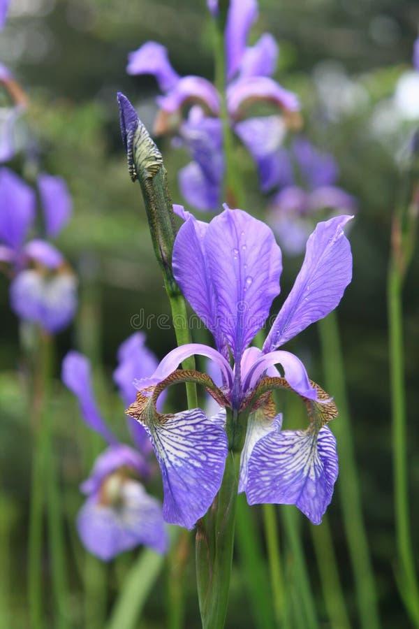 Met dauw bedekte iris stock fotografie