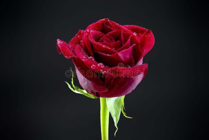 Met dauw bedekte Rode Rose Black Backdrop royalty-vrije stock afbeeldingen
