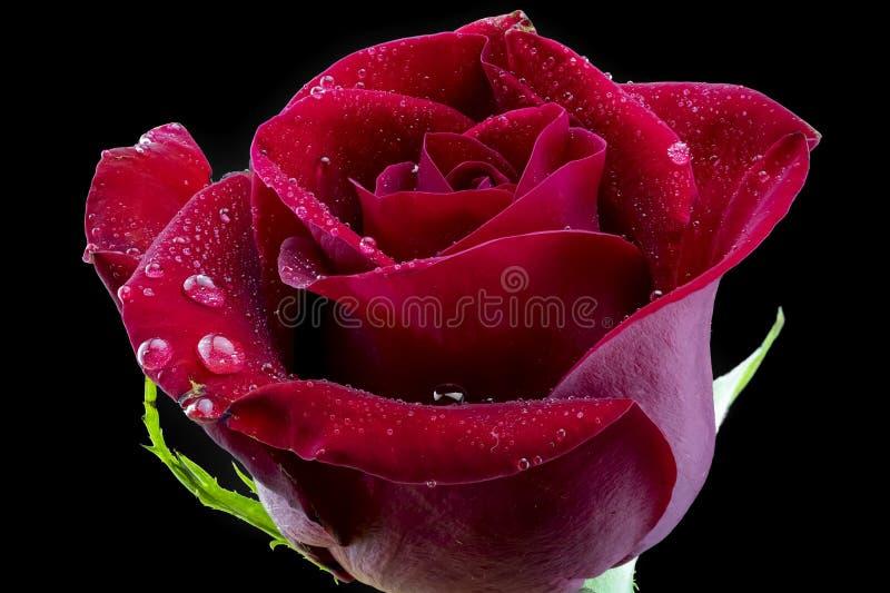 Met dauw bedekte Rode Rose Close Up With Black-Achtergrond royalty-vrije stock foto's