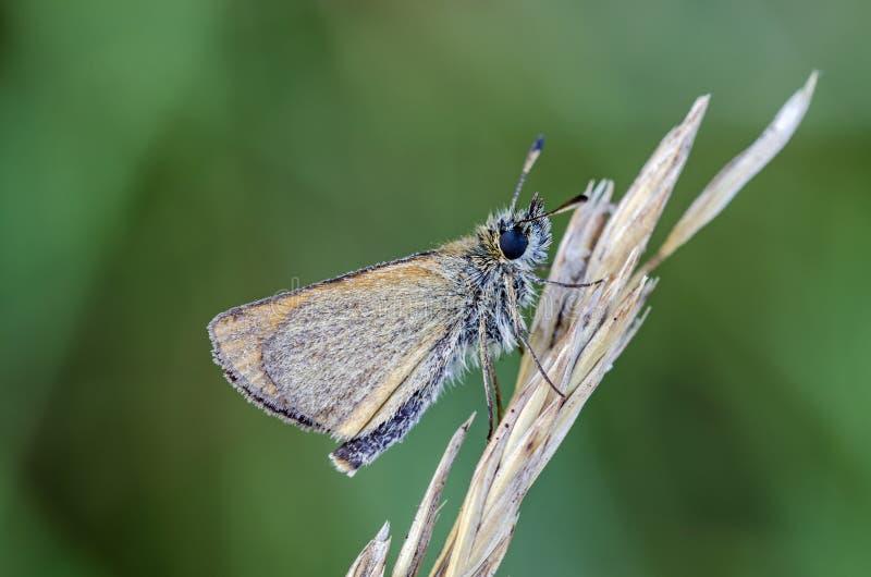 Met dauw bedekte vlinder stock foto's