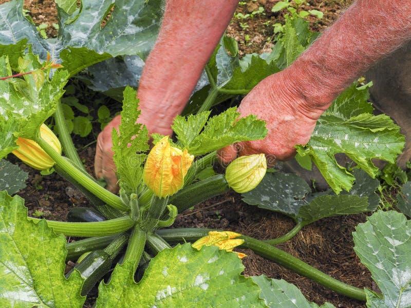 Met de hand plukkend courgettebloemen in moestuin, sluit omhoog royalty-vrije stock foto