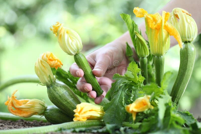 Met de hand plukkend courgettebloemen in moestuin, sluit omhoog royalty-vrije stock foto's