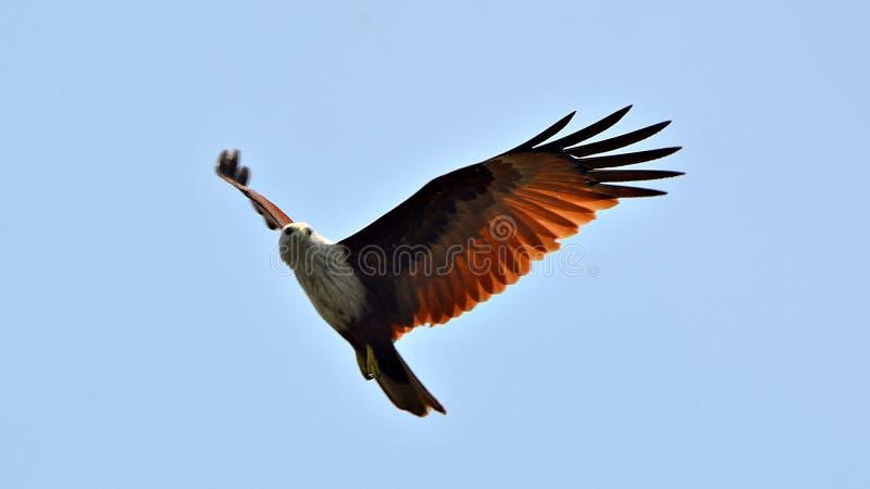 met de majestueuze adelaar stock afbeeldingen