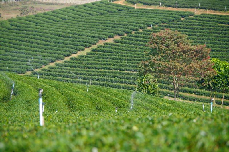 met en place le thé vert frais images stock