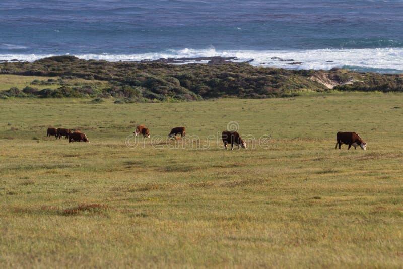 Met gras gevoederde koeien stock afbeeldingen