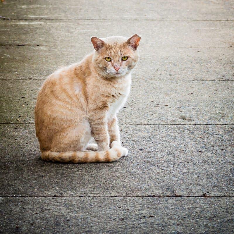 Met littekens bedekt en Veronachtzaamd Verdwaald Feral Male Ginger Cat op Straat royalty-vrije stock afbeelding