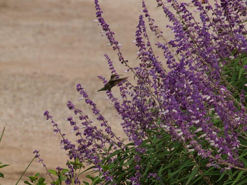 Met Vleugels vooruit, schort Deze Kolibrie zich in Mid Air op royalty-vrije stock afbeeldingen