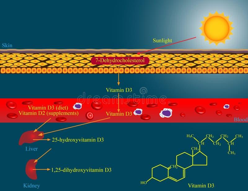 Metabolismo da vitamina D ilustração royalty free