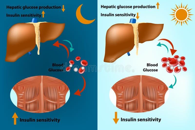 Metabolismo del fegato e del muscolo scheletrico per il regolamento di omeostasi del glucosio dei sistemi royalty illustrazione gratis