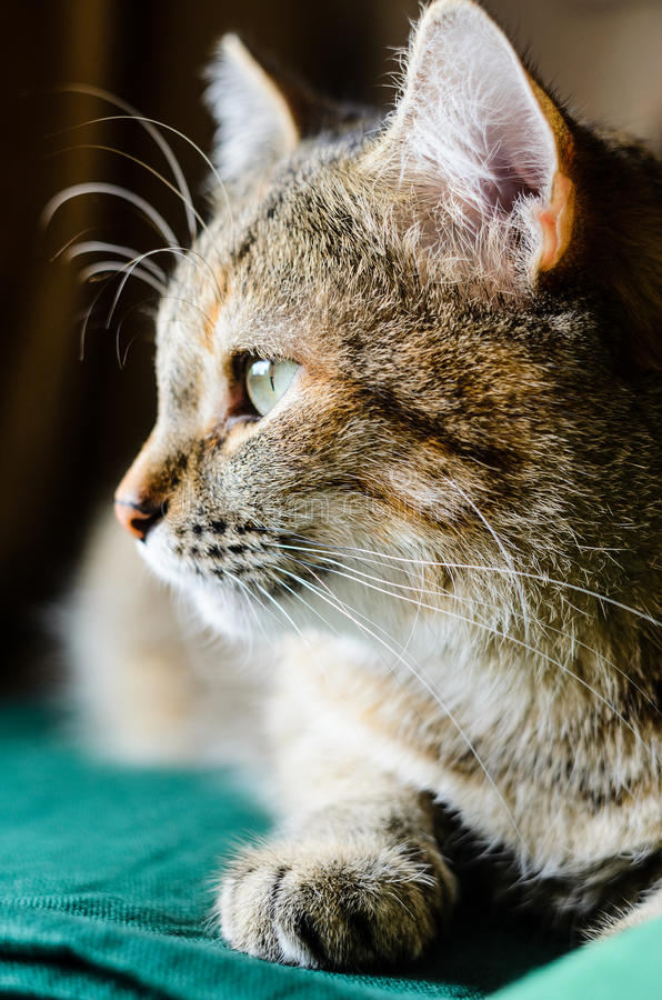 Metade-cara Tabby Cat Portret imagem de stock royalty free