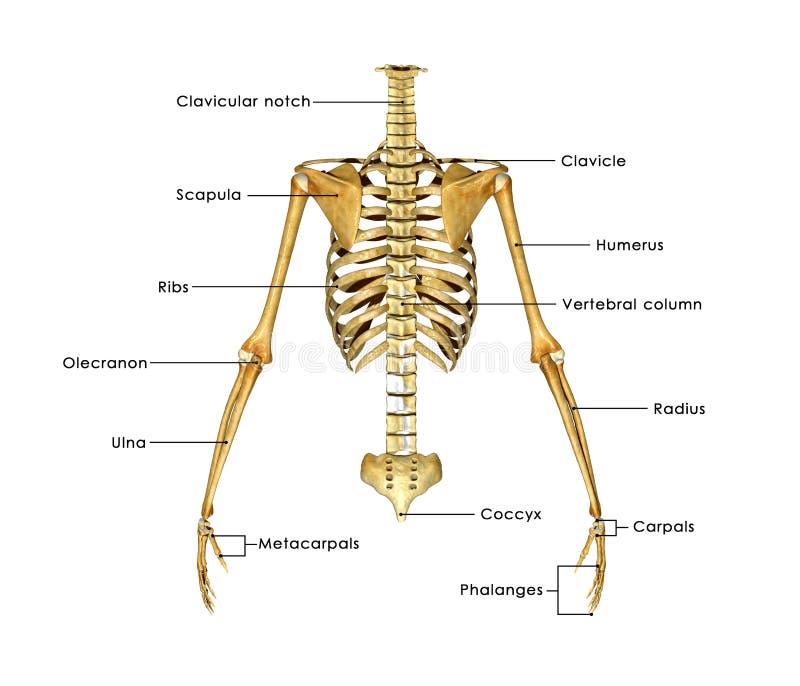 Metade de esqueleto ilustração stock