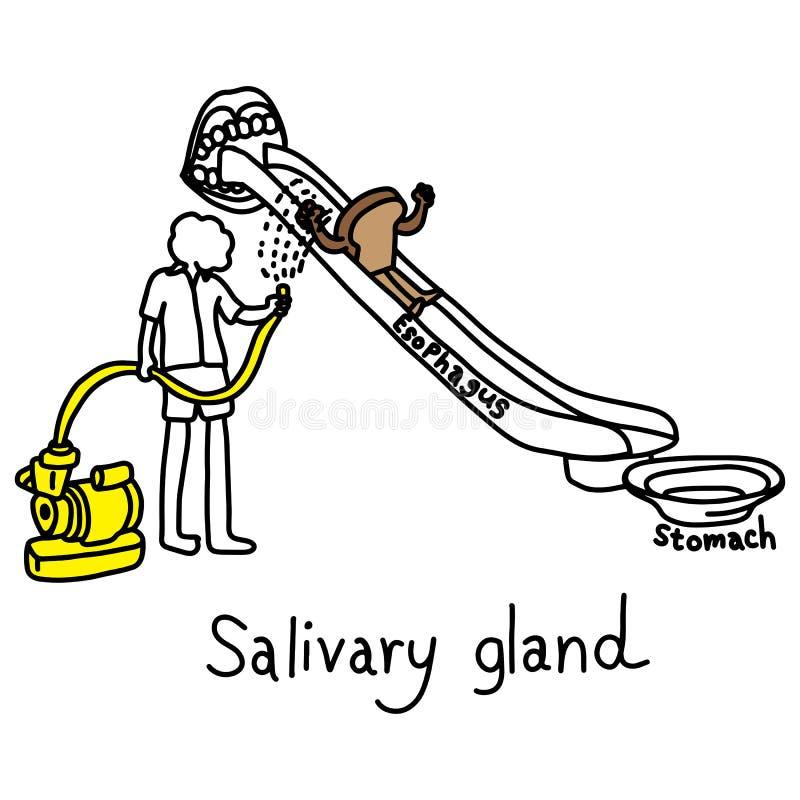 Metaforfunktion av saliv- körtlar som producerar saliv för att göra f royaltyfri illustrationer