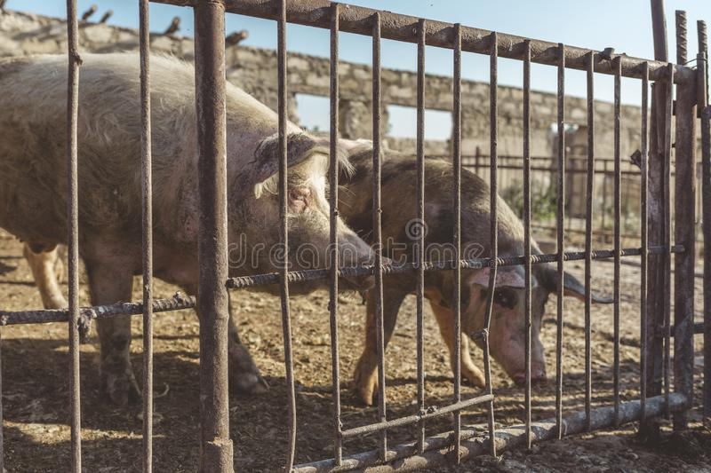 A metal fence behind which are two pigs. Livestock farm. Meat industry. Animals rights concept. stock photos
