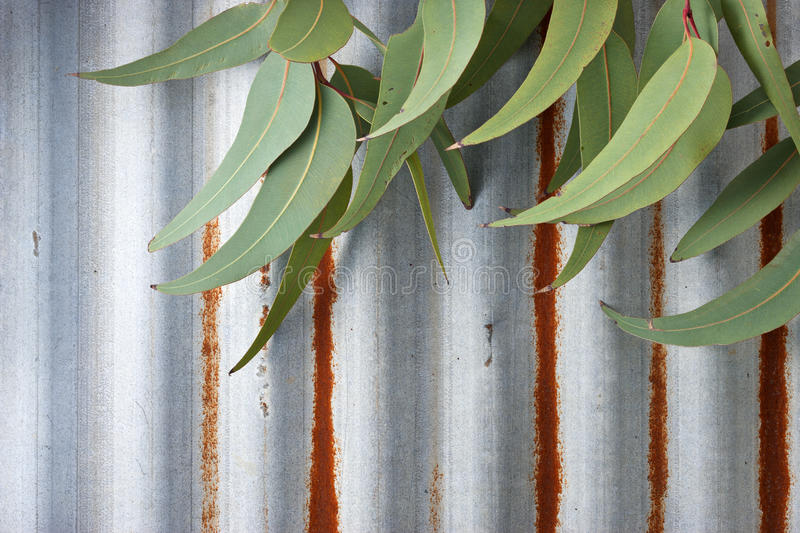 Corrugated Iron Gum Leaves Background stock photography