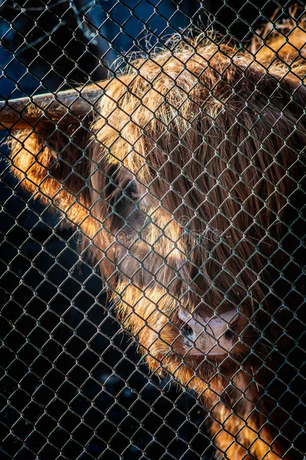 Metal mesh fence and hairy cow snout behind it. Close view royalty free stock images