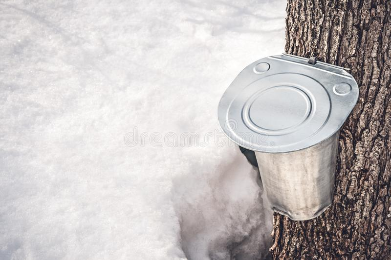 Metal pail attached to a tree to collect maple sap. With snow melting around. Maple syrup production in Quebec, Canada royalty free stock photos