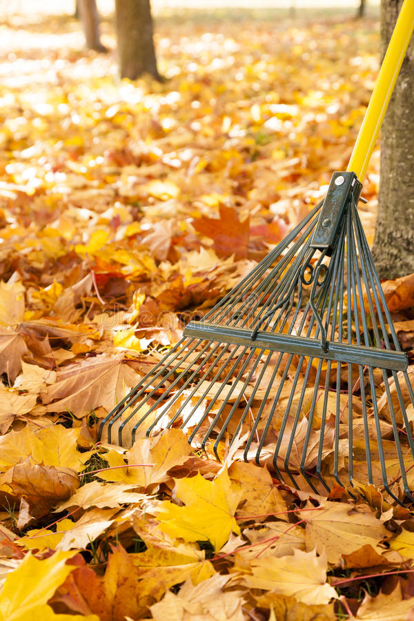 Free Metal Rake, Tree Trunks And Pile Of Bright Yellow Maple Leaves In Autumn Royalty Free Stock Photography - 96224407