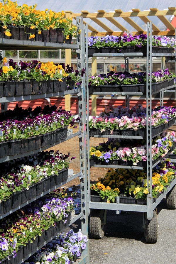 Metal shelves filled with flats of colorful flowers. Metal shelves filled with flats of bright,colorful flowers ready for Springtime planting royalty free stock photography