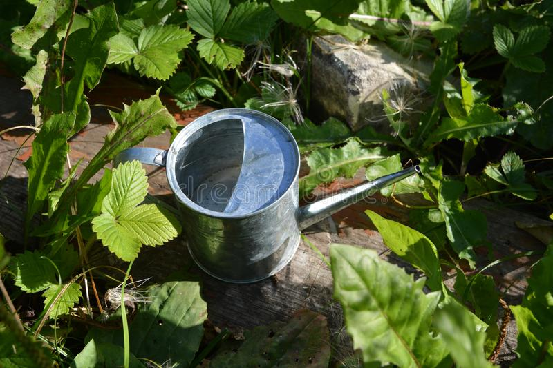 Metal watering can among green leaves of different plants - strawberry, dandelion and others. Summer garden.  stock photos