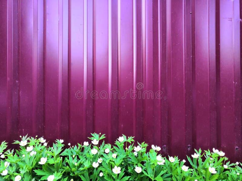Metall紫色篱芭和白花和叶子绿色 免版税库存照片