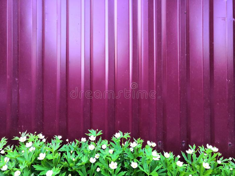 Metall purple fence and white flowers and leaves green. Background royalty free stock photo