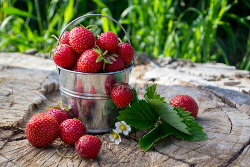 Metallhink med jordgubbar i trädgården fotografering för bildbyråer
