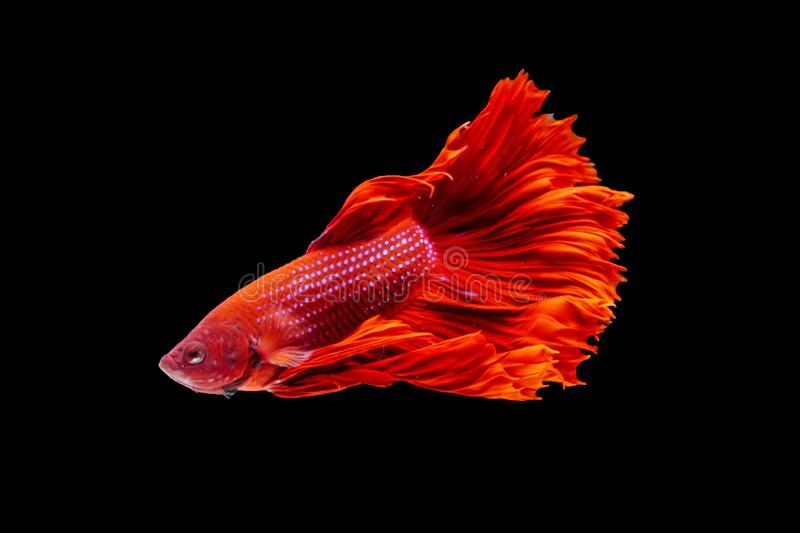 Thai Fighting Fish is a beautiful fish and Thai national fish. royalty free stock images