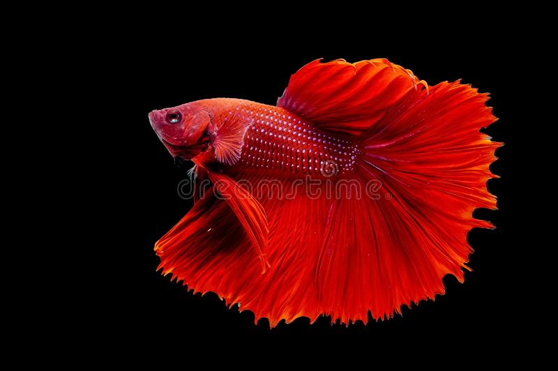 Thai Fighting Fish is a beautiful fish and Thai national fish. royalty free stock photo
